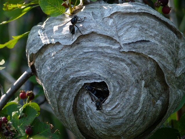Black wasp home looks like a claypot