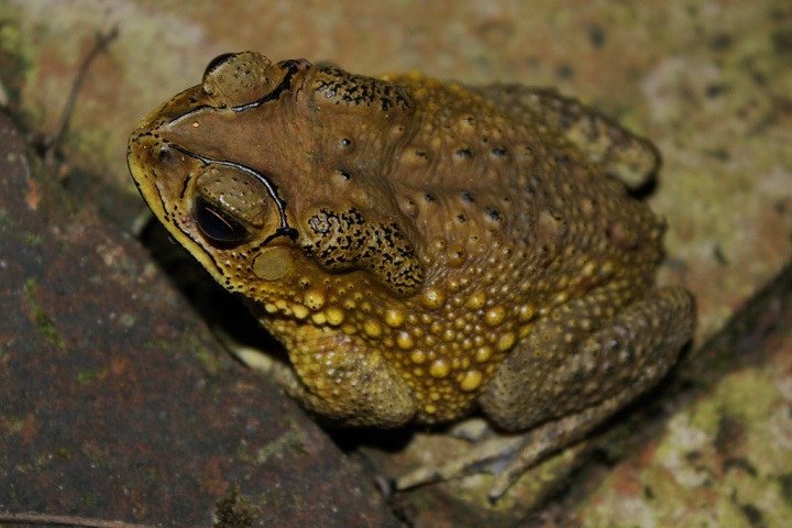 Asian_Common_Toad_(Duttaphrynus_melanostictus)