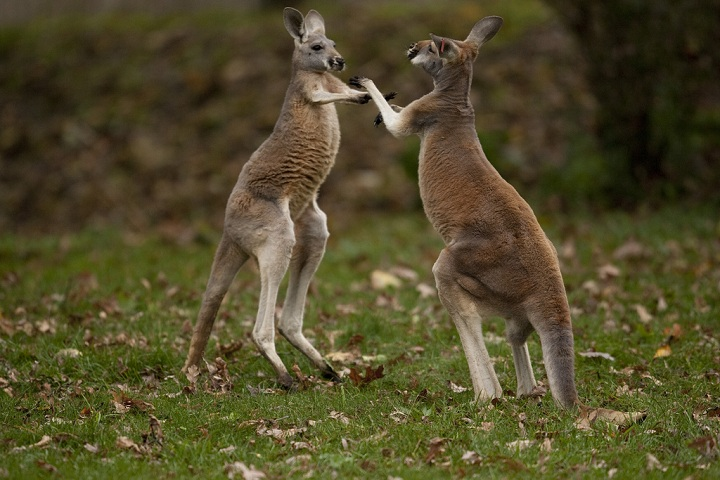 Kangaroos-today