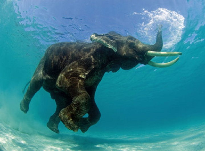 elephant-swimming-1