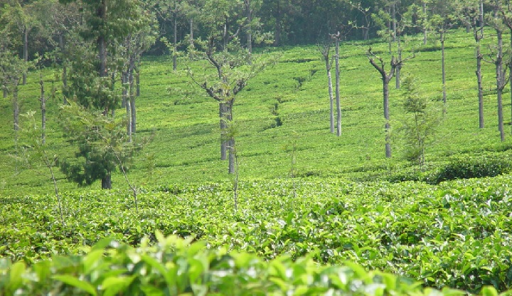 A tea garden on Western Ghats