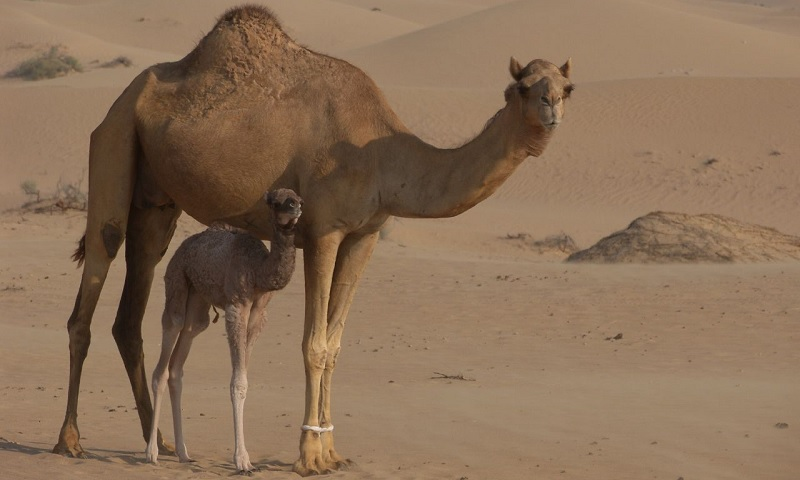 The Ship of The Desert - Camel | Facts For Kids, Wild Life ...