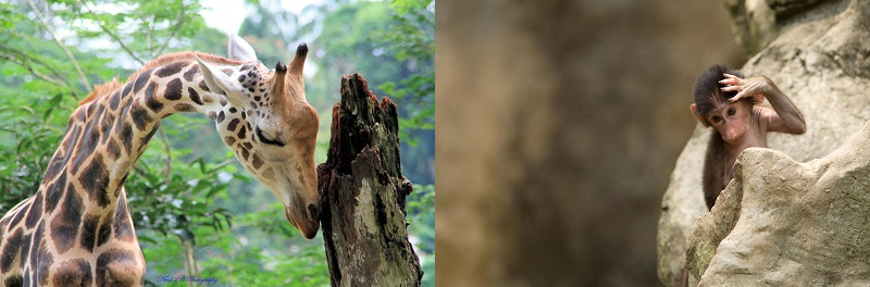 A giraffe and baboon at Singapore Zoo