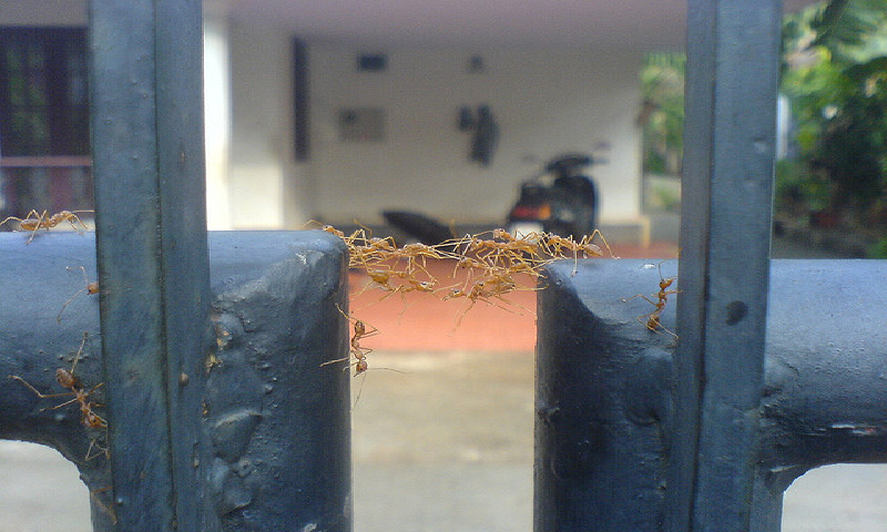 Ants make a bridge to go from one side to the other