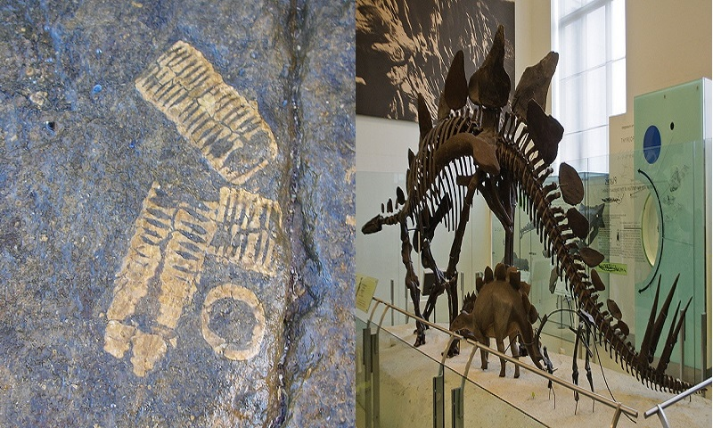 (L) - A fossil print on a rock is just an impression, Image Credit: Flickr user MGSpiller, via cc, (R) - A full skeleton of an adult Stegosaurus displayed at Americam Museum of National History. Not many fossil bones are found intact so scientists have to recreate the missing bones to complete the whole frame, Image Credit: Flickr User InSapphoWeTrust, via cc