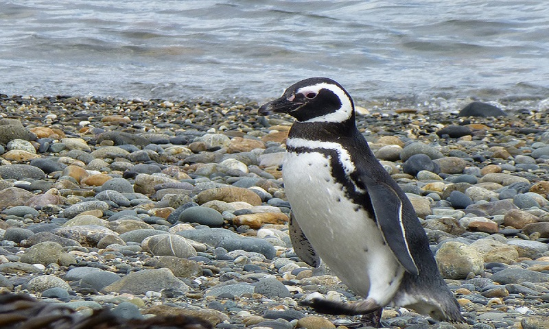A Magellanic Penguin on the beach, Image Credit: Flickr User NASA Goddard Photo and Video, via CC