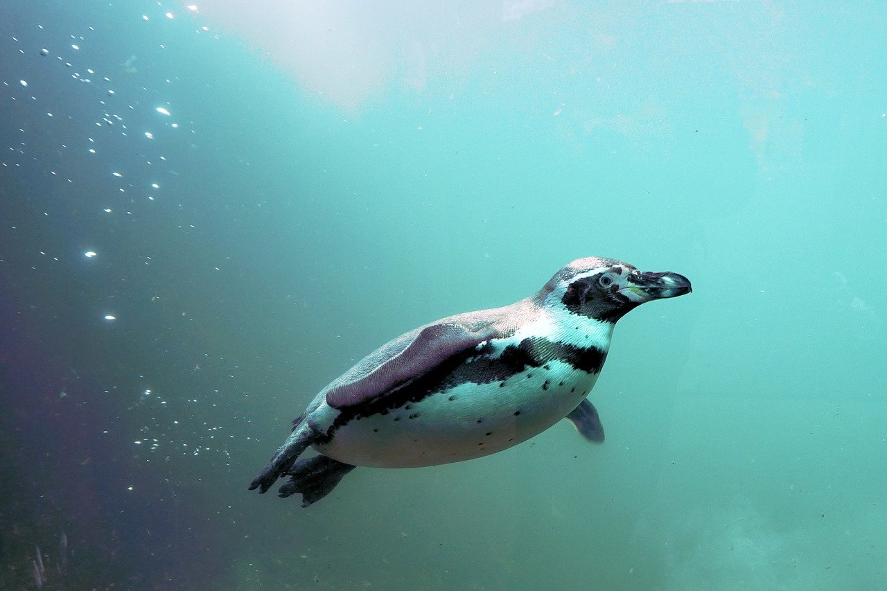 A penguin swimming underwater